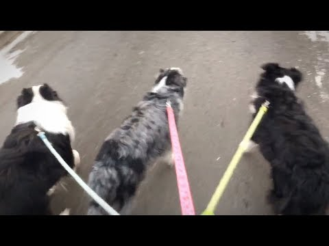 When You Have Three Border Collies......