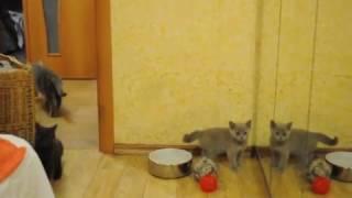 котенок и зеркало британские кошки питомник BRITISH HOUSE