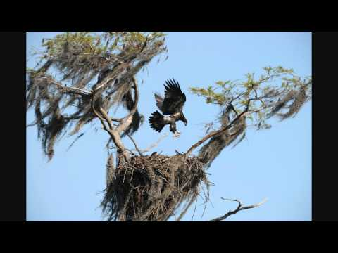 Eagle falls from nest. R J Wiley.wmv