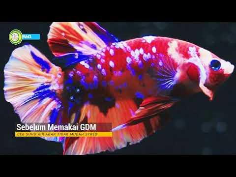 Warna Cerah Dan Menarik Cara Ternak Ikan Cupang