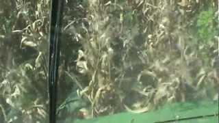 Picking Corn in N.C. Whitehurst farms 2012