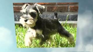 Comportamiento Cachorros Raza Schnauzer Miniatura