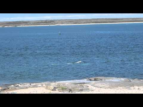 Belugas - Churchill, Manitoba