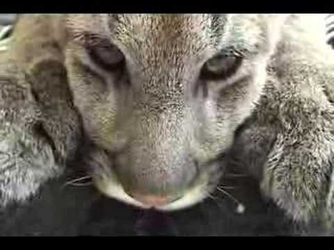 Escaped Tigers! from YouTube · Duration:  58 seconds