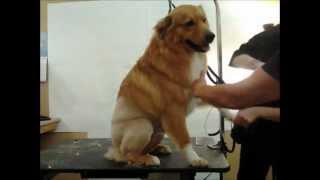 Lion Cut Dog | Dog Lion Cut Grooming Houston, Tx (texas)