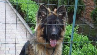 БОНЯ. Щенок Немецкой овчарки 7 месяцев. His name is Bonya. Puppy German Shepherd 7 months.