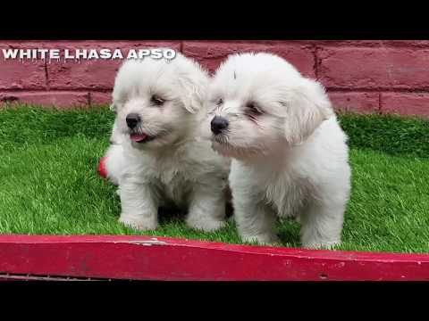 rare-white-lhasa-apso-puppies-for-sale.-4-sweet-cute-full-white-lhasa-apso-pups.-ready-to-go