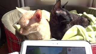 Fan Video - Two Cornish Rex Cats Purring Away to Relax My Cat Music! It Works!