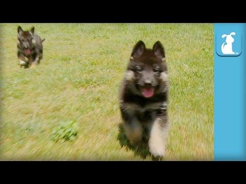 Fluffy German Shepherd Puppies Run Like Heroes - Puppy Love