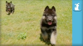 Fluffy German Shepherd Puppies Run Like Heroes - Puppy Love