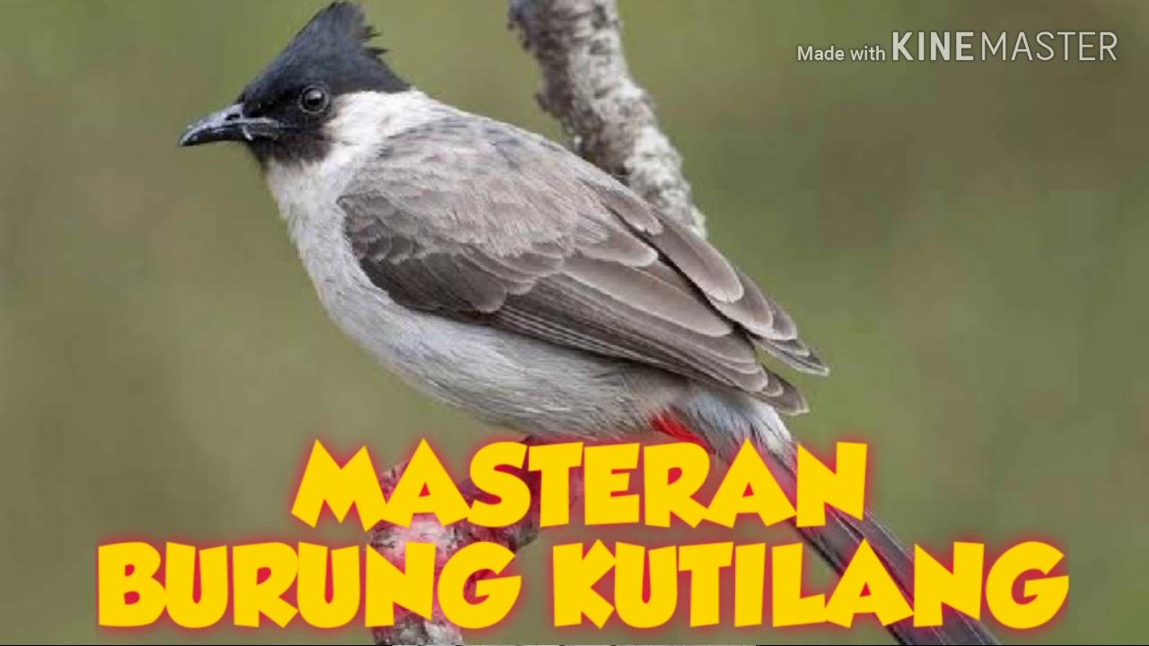 Masteran Burung Kutilang Full Isian Youtube