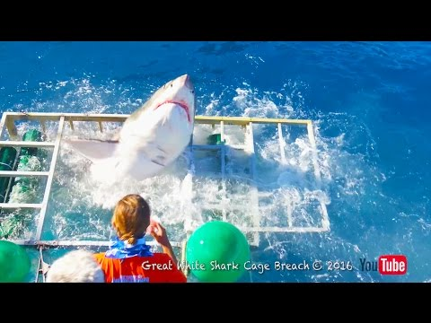 Great White Shark Cage Breach Accident (Official)