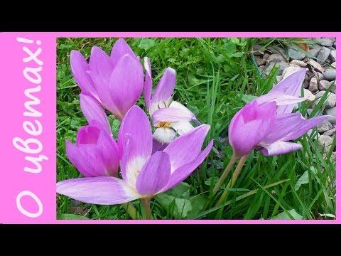 Вопрос: Какие многолетние цветы относятся к категории осенних?
