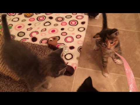 How My Cats React to Foster Kittens and Momma Cat!
