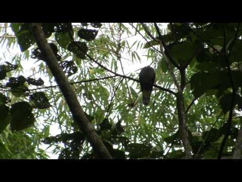 Mountain Imperial Pigeon / Pergam Gunung (Ducula badia)