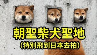為什麼好倫特地飛到日本長崎縣的島原市呢,因為想拍【島原三柴犬】給各...