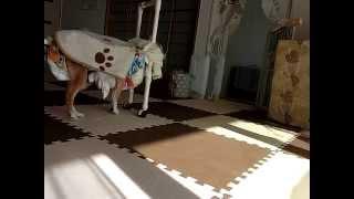 17歳8ヶ月 高齢犬ランちゃんの歩行器