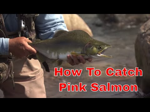 Pink Salmon On A Fly   How To