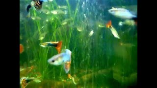Fancy Guppy,  Show Guppy  Fish, Guppies, Poecilia reticulata