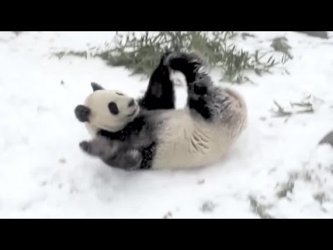 Giant panda takes a tumble in the snow