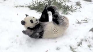 Giant panda takes a tumble in the snow