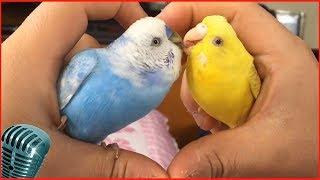 волнистые попугаи видео слушать пение волнистых попугаев #2