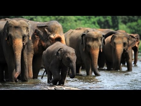 The Great Encounter of the Asian Elephants