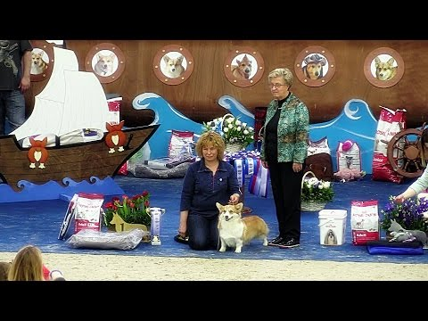 """Welsh corgi pembroke. """"Champion"""" class bitch at the Russian National Specialty show 2017"""