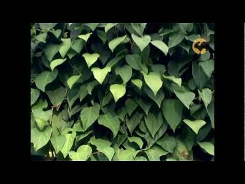 Лимонник китайский - выращивание, полезные свойства