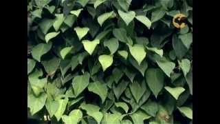 видео Шизандра китайская, лимонник (Schizandra chinensis)