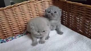 We are waiting for our mommy. British Shorthair cattery Calmcat