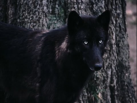 the rise of the black wolf youtube the rise of the black wolf