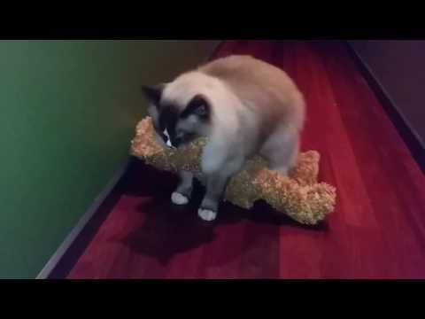 Just walking my bear... - PoathCats / PoathTV / Floppy Ragdoll Cats