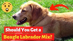 Everything About the Beagle Labrador mix-breed (Beagador) | Should you get a Beagador?