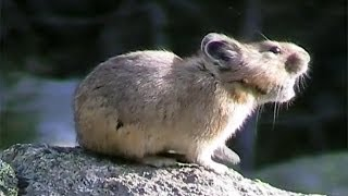American Pikas Calling Out