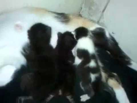 Manx cats fighting
