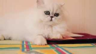 Персидская кошка, котенок шиншилла