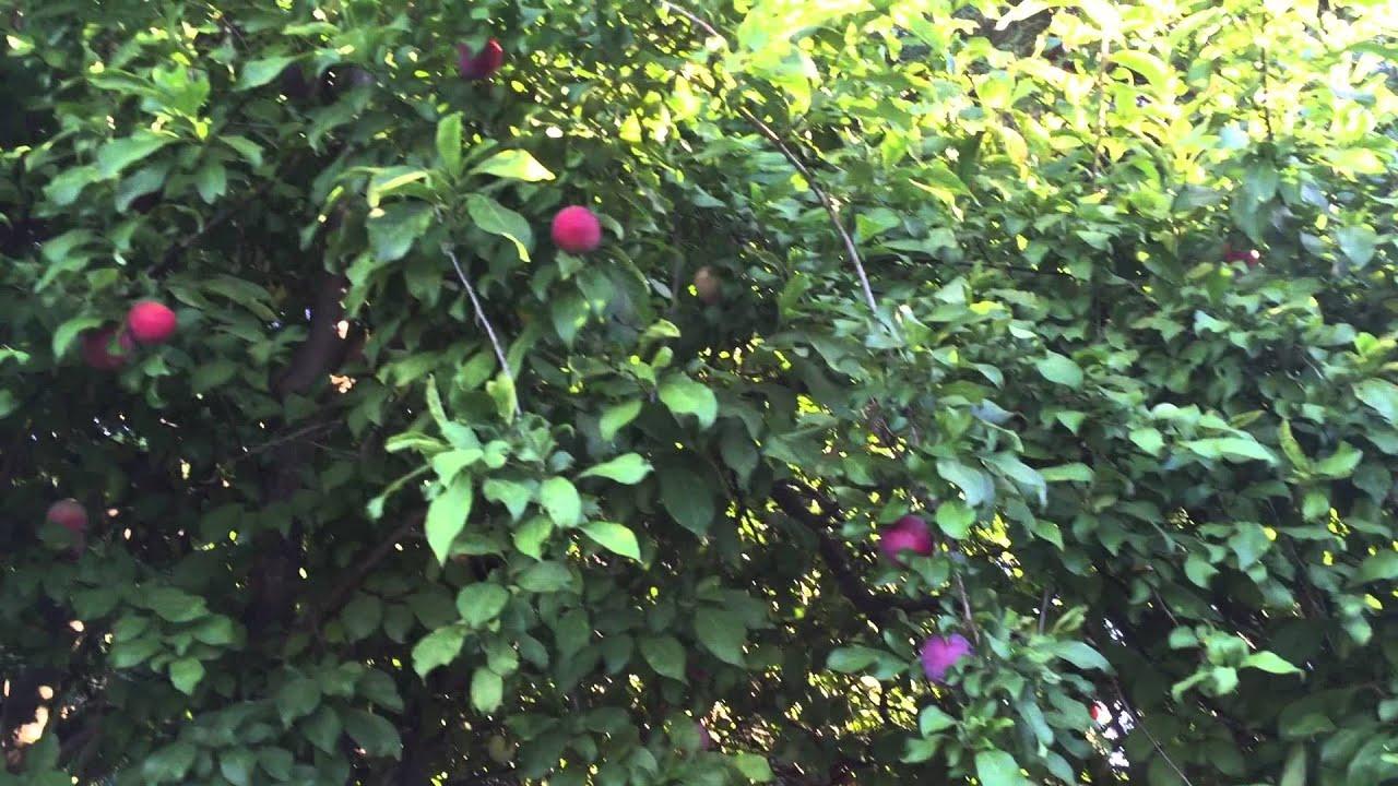 backyard santa rosa plums trees full of rips fruits youtube
