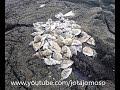 Fishing video, Fishing White seabream, Pesca ao sargo ,  الصيد سيرجوس