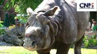 "Greater One-Horned Rhinoceros Looking Right At Me - Check out its ""Armored"" Plates!"