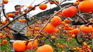 World's Most Expensive Persimmon - Japanese persimmon Harvesting - Dry persimmon traditional making