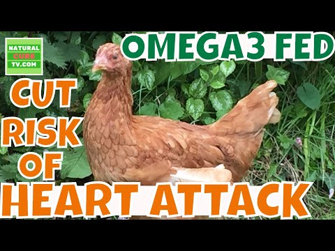 CUT RISK of a HEART ATTACK  Could Chicken Fed OMEGA 3 Cut Risk of a Heart Attack