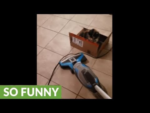 Fearless kitten plays with the vacuum cleaner