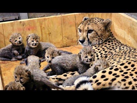 Leopardo dando a luz y amamantando leopardo bebé en el ...