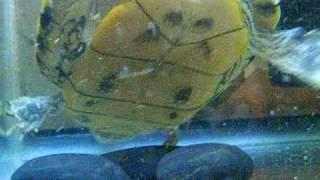 Turtle Vs Crayfish CHOMP!
