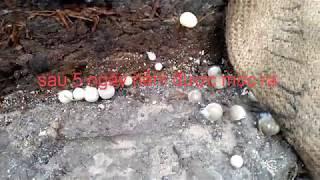Hướng Dẫn ủ Nấm Rơm Bằng Bông Gòn Cho Năng Xuất Cao