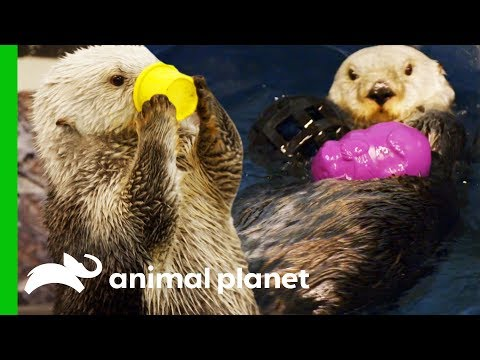 Southern Sea Otters Swim Together For The First Time | The Aquarium