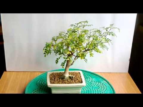 Bonsai pepe youtube for Bonsai pepe