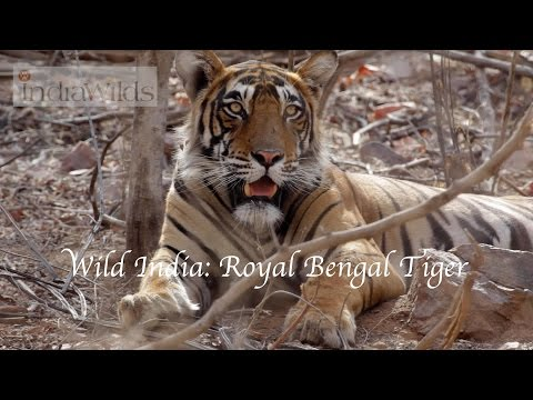 Wild India: Royal Bengal Tiger