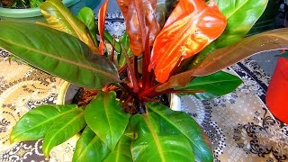 Philodendron, Banana, Papaya, Wandering Jews